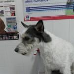 Mi perro tiene una dermatitis alérgica de contacto.