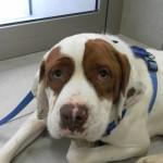 Reanimación cardiopulmonar en perros.