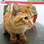 Tratamiento de la artrosis en gatos.