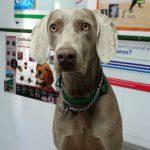 Tratamiento de la artrosis en perros.