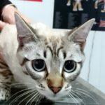 ¿Por qué debo desparasitar a mi gato?