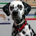 ¿Mi perro tose o vomita?