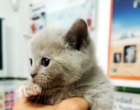 ¿Es peligroso anestesiar a un gato?