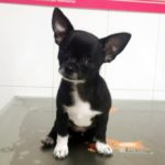 ¿Es peligroso anestesiar a un perro?