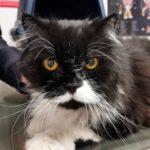 ¿Tengo que castrar a mi gato?